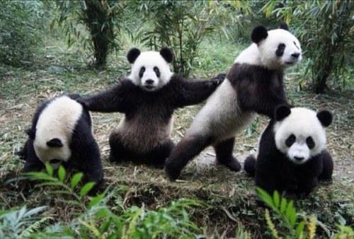 Panda research base near Chengdu, China