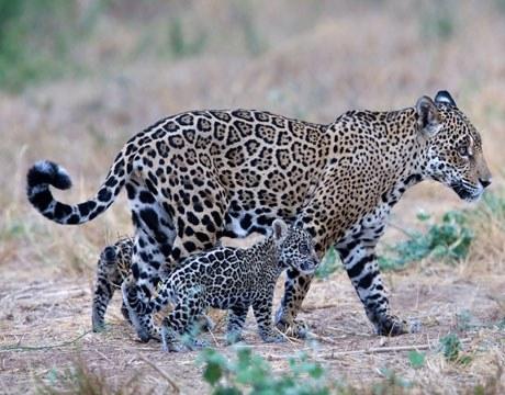 Jaguars in Kaa-Iya National Park