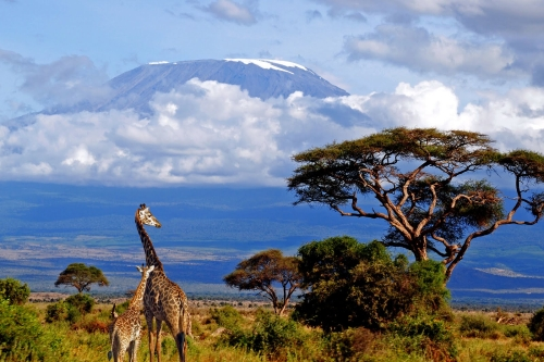 Giraffes hanging out near Mt Kilimanjaro, Tanzania