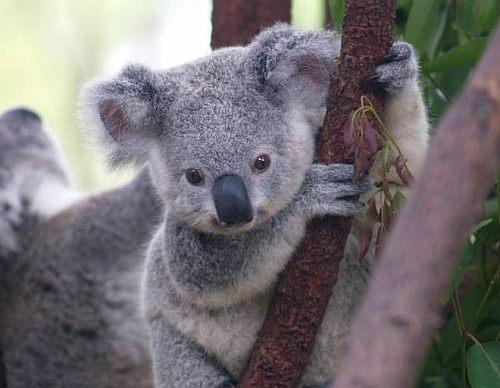 Koala conservation centre near Melbourne